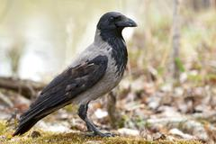Crow Stock Photos