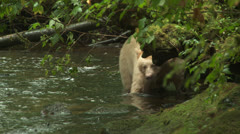 Spirit Bear Walks toward camera Stock Footage