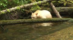 Spirit Bear Walks on Log Stock Footage
