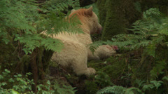 Spirit Bear Eats Salmon Stock Footage