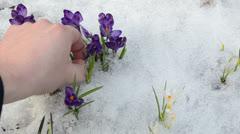 Hand gather pick crocus saffron flower blooms snow spring garden Stock Footage