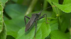 Leaf-footed Bug (Acanthocephala terminalis) 2 Stock Footage