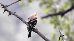 Hoopoe preening Stock Footage