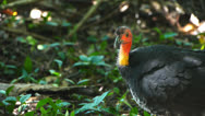 Stock Video Footage of australian brushturkey