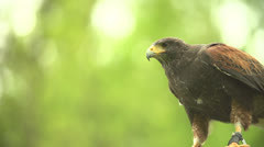Hawk starts and fly in slow motion (200fps) - stock footage