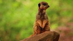 Alert Meerkat On Rock, Looking Around HD Stock Footage