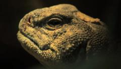 Egyptian Spiny Tailed Lizard Blinking, Close Up HD Stock Footage