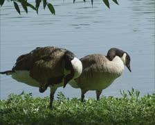 Stock Video Footage of Pair of Canada Goose (Branta Canadensis) riverside grooming
