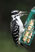 hairy woodpecker (picoides villosus) - stock photo