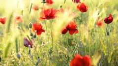 Red poppy on the green field Stock Footage