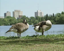 Pair of Canada Goose (Branta Canadensis) at riverside 03 Stock Footage