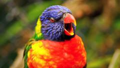 Rainbow Lorikeet Opening Mouth, Colourful Bird - Close Up HD Stock Footage
