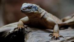 Western Chuckwalla Lizard - Close Up HD Stock Footage