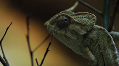 Chameleon Lizard - Looking Around, Close Up HD Stock Footage