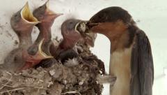 Barn Swallow Chicks Being Fed Stock Footage
