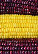 corn ear background - stock photo