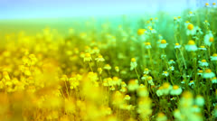 Herbs and Chamomile Waved by Ocean Wind Yellow Blue Nature Background HD Stock Footage