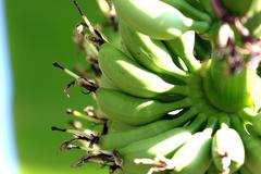 zoom the bananas are a fruit, but not ripe. - stock photo