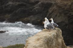 Seagull birds on rocky Pacific Ocean coast - stock photo