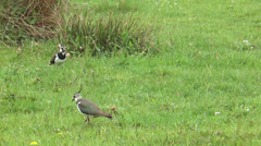 Lapwings on a meadow Stock Footage