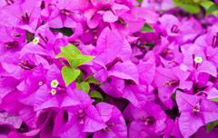 Purple bougainvillea flower Stock Photos