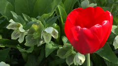 Red tulip and hellebore Stock Footage