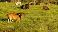 Cattle in field Stock Footage