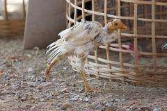 chickens are foraging beside coop. - stock photo