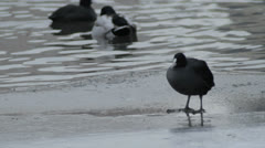 Coot Crazily Looking Around - 25FPS PAL Stock Footage