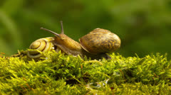 Two snails on a branch. 4К  4096х 2304 Macro. Time lapse Stock Footage