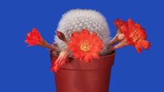 Time-lapse avaamalla oranssi Rebutia kukka Arkistovideo