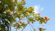 Stock Video Footage of tree with red flowers and bird