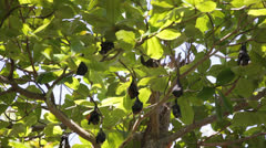 Relaxed flying foxes sleeping on the tree during day Stock Footage