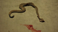 Stock Video Footage of Dead Rattlesnake