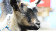 Hd: young mountain goat kid Stock Footage