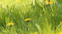 Lawn with dandelions. spring Stock Footage