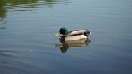 Drake mallard ducks floating on a pond and shakes its tail Stock Footage