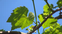 Close Up of Unripe Grapes, Eco Fruits, Viticulture, Landscapes, Backgrounds Stock Footage