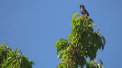 Starling Sitting on the Top of a Cherry Branch then Flying Away, Singing Birds Stock Footage