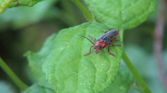Close Up of Red Bug Sitting on a Plant, Insect in Nature, Macro Stock Footage