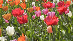 Tulips and fountain in Koningin Astridpark Stock Footage