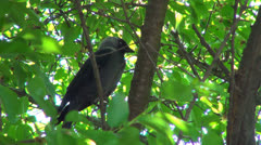 Sleeping Crow Sitting on a Branch in Tree in Spring, Raven, Birds Stock Footage