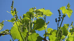 Close Up of Unripe Grapes, Eco Fruits, Viticulture, Landscapes, Backgrounds - stock footage