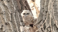 Baby Great Horned Owl in nest Stock Footage