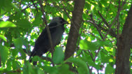 Stock Video Footage of Blue Eyes Crow Sitting on a Branch in Tree in Spring, Raven, Birds