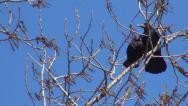 Stock Video Footage of Couple of Crows Sitting on a Bare Branch, Ravens on a Windy Day, Birds
