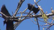 Stock Video Footage of Crows Sitting on a Bare Branch then Flying Away, Ravens on a Windy Day, Birds