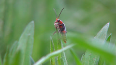 Close Up of Red Bug on a Blade of Grass Coming in Focus, Insect in Nature, Macro Stock Footage