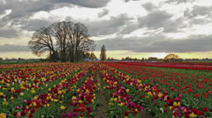 Colorful Tulip Flowers Blooming in Spring Season at Sunset Timelapse 1920x1080 Stock Footage