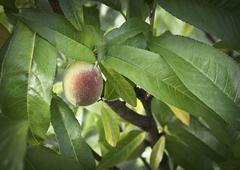 New peach Stock Photos